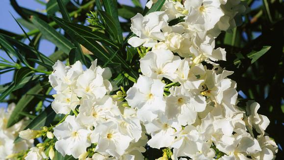 Jardin les lauriers roses fleurs blanches for Jardin de fleurs blanches