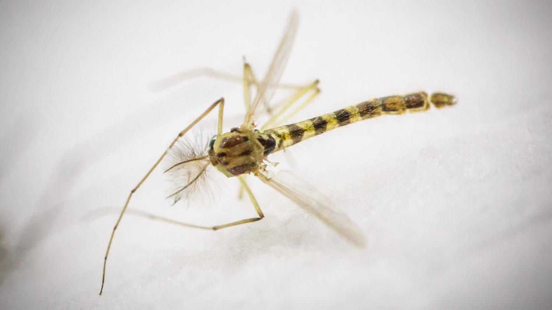 sant la lutte contre le moustique tigre commence. Black Bedroom Furniture Sets. Home Design Ideas