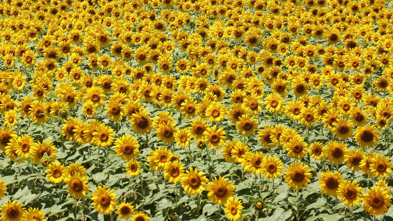 Jardin les tournesols et le soleil - Griller des graines de tournesol ...