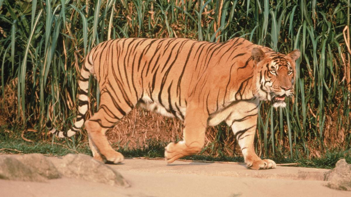 rencontre avec des tigres en france)