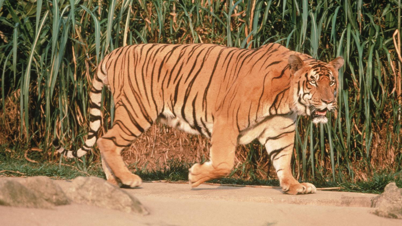 les pourquoi pourquoi les tigres sont ils tigr s. Black Bedroom Furniture Sets. Home Design Ideas