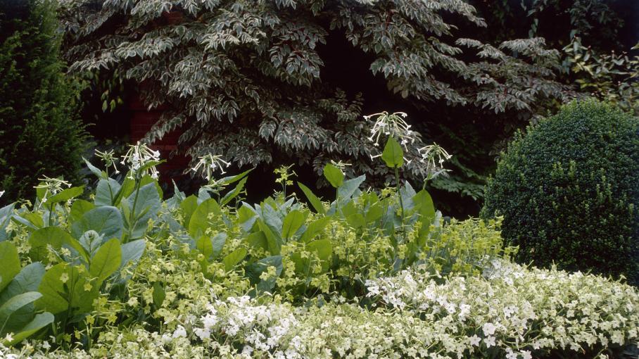 Jardin le tabac sylvestre - Culture du tabac en france ...