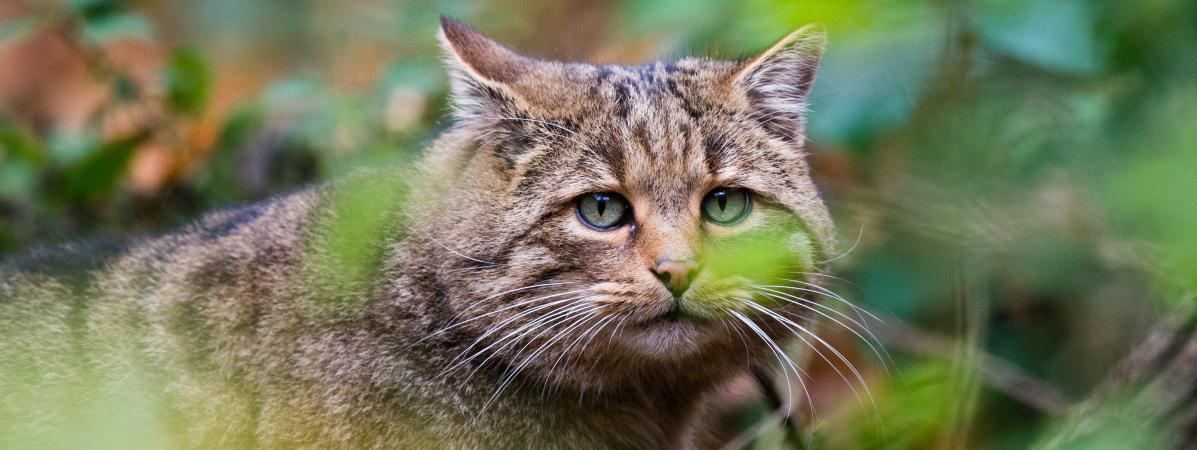 Australie  une immense clôture contre les chats sauvages dressée pour  protéger des espèces menacées