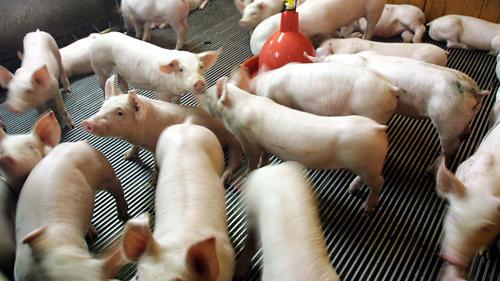 VIDEO. L'association L214 diffuse de nouvelles images chocs tournées dans deux élevages de porcs