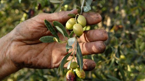 Huile d'olive : une récolte précoce et faible à cause de la sécheresse