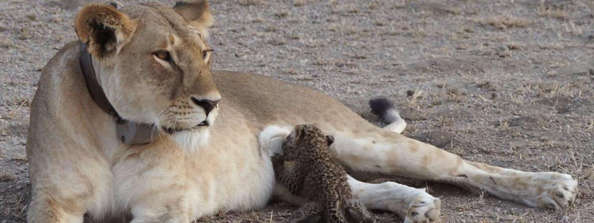 Une lionne nourrit un bébé léopard, dans la réserve de Ngorongoro, en Tanzanie, mardi 11 juillet 2017.