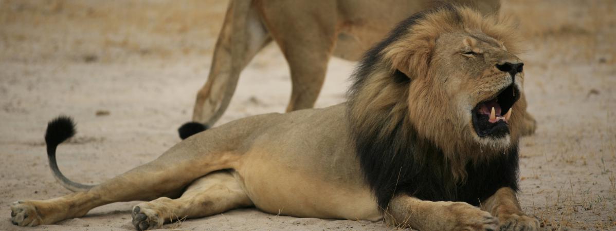 xanda le fils de cecil le lion son tour tu par des chasseurs au zimbabwe. Black Bedroom Furniture Sets. Home Design Ideas