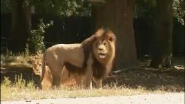 VIDEO. Vol au-dessus des lions : on a testé la tyrolienne du zoo de Thoiry