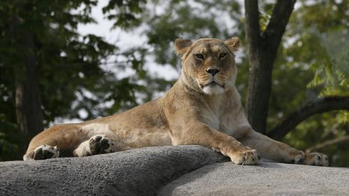 """""""Il peut s'agir d'un félin de plus petite taille"""" : en Mayenne, les gendarmes cherchent (en vain) des traces d'un lion"""