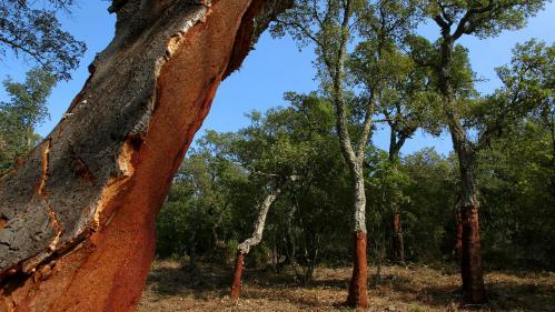 """""""Il fonctionne comme un obstacle au feu"""" : comment le chêne-liège permet de limiter la propagation des incendies"""