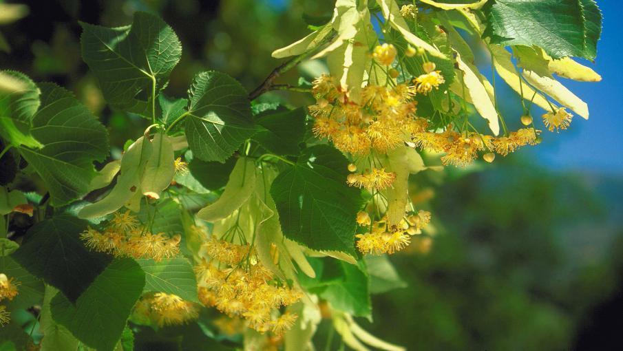 Jardin le tilleul plante aux feuilles et fleurs comestibles for Jardin aux fleurs