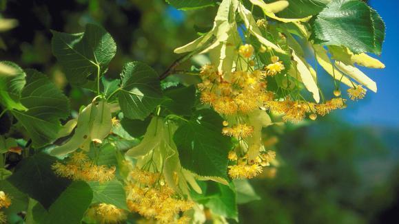 Jardin le tilleul plante aux feuilles et fleurs comestibles for Plante 8 feuilles