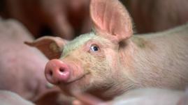 """Chine : les """"usines à viande"""" envahissent le marché du porc"""