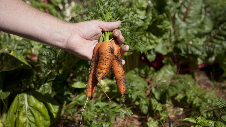 Jardin comment mettre ses carottes au garde vous for Au jardin info