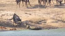 VIDEO. Deux hippopotames sauvent un gnou de la gueule d'un crocodile dans un parc sud-africain
