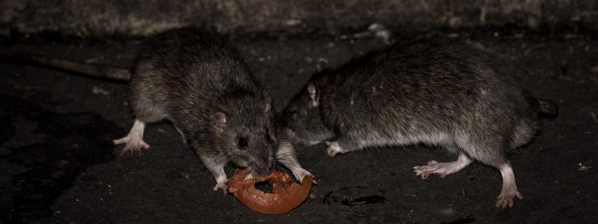 Rats - Handicap