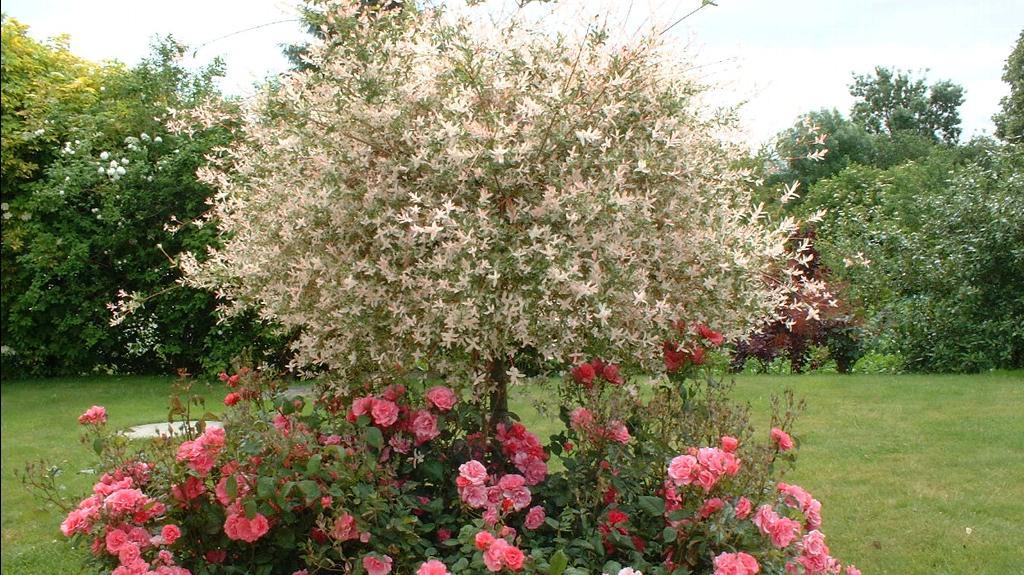 jardin le saule crevette un arbuste tr s d coratif. Black Bedroom Furniture Sets. Home Design Ideas