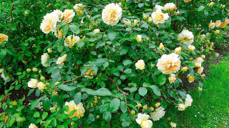 Jardin plantation des rosiers en conteneur for Jardin plantation