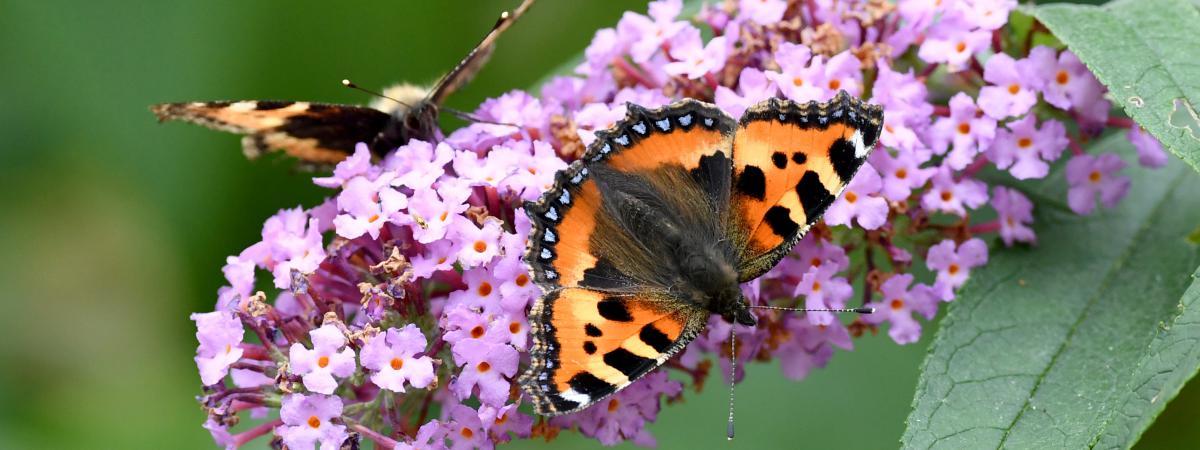 Des papillons posés sur des fleurs dans le nord de l\'Allemagne, le 17 août 2017.