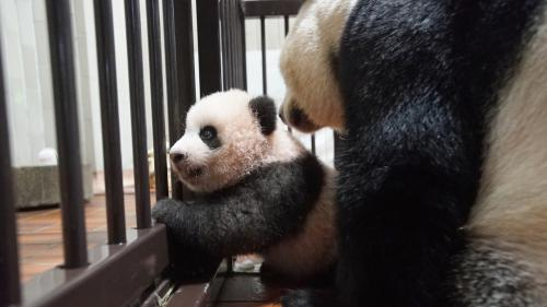 VIDEO. Les premiers pas de Xiang Xiang, bébé panda, au zoo de Tokyo