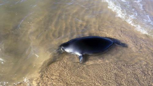 Côte d'Opale : qui en veut aux phoques ?