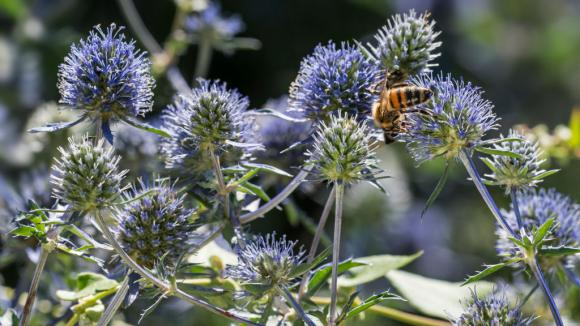Jardin Le Chardon Aux Boules Azurees Un Bouquet Sec Pour L Hiver