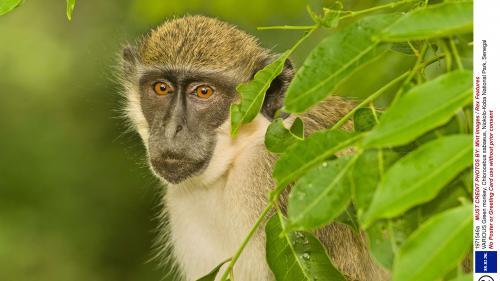 La découverte de deux singes verts, une espèce invasive, inquiète la Guadeloupe