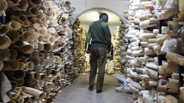 Jusqu'à 30 000 éléphants seraient braconnés chaque année pour leur ivoire, selon une ONG de protection animale 1