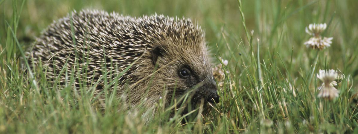 Naturalistes et associations françaises alertent sur la baisse de la population de hérissons, menacés par les pesticides et la destruction de leur habitat naturel.