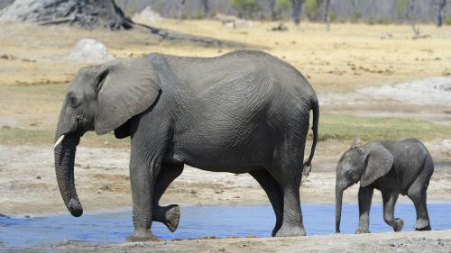 Trump suspend l'importation de trophées d'éléphants, 24 heures après l'avoir autorisée