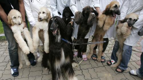 """Des chiens """"reclonés"""" à partir de Snuppy, le premier clone de chien au monde"""