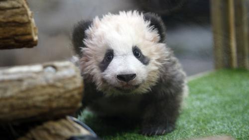 Cinq questions sur le baptême de Yuan Meng, le bébé panda du zoo de Beauval
