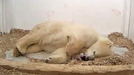 VIDEO. Une ourse polaire donne naissance à un petit dans un zoo de Berlin