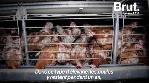 La vidéo choc de L214 pour dénoncer l'élevage des poules en cage