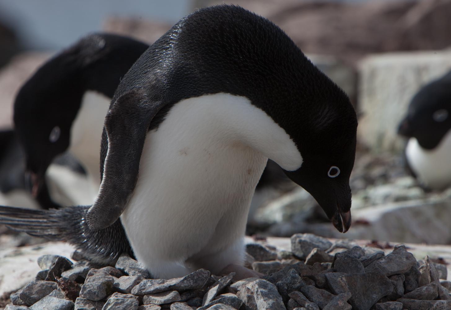 Un manchot Adélie, en Antarctique.