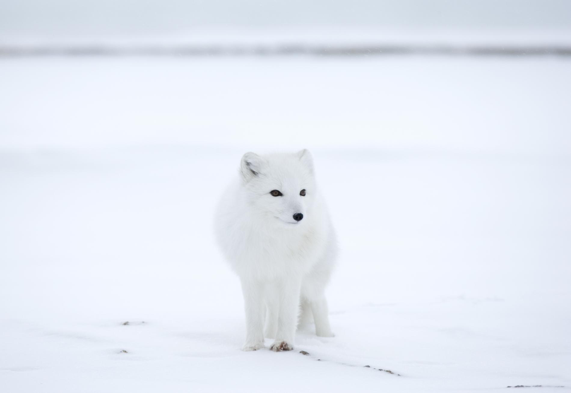 Un renard polaire, près de Churchill, dans la baie d\'Hudson, dans la province du Manitoba (Canada) en 2007.