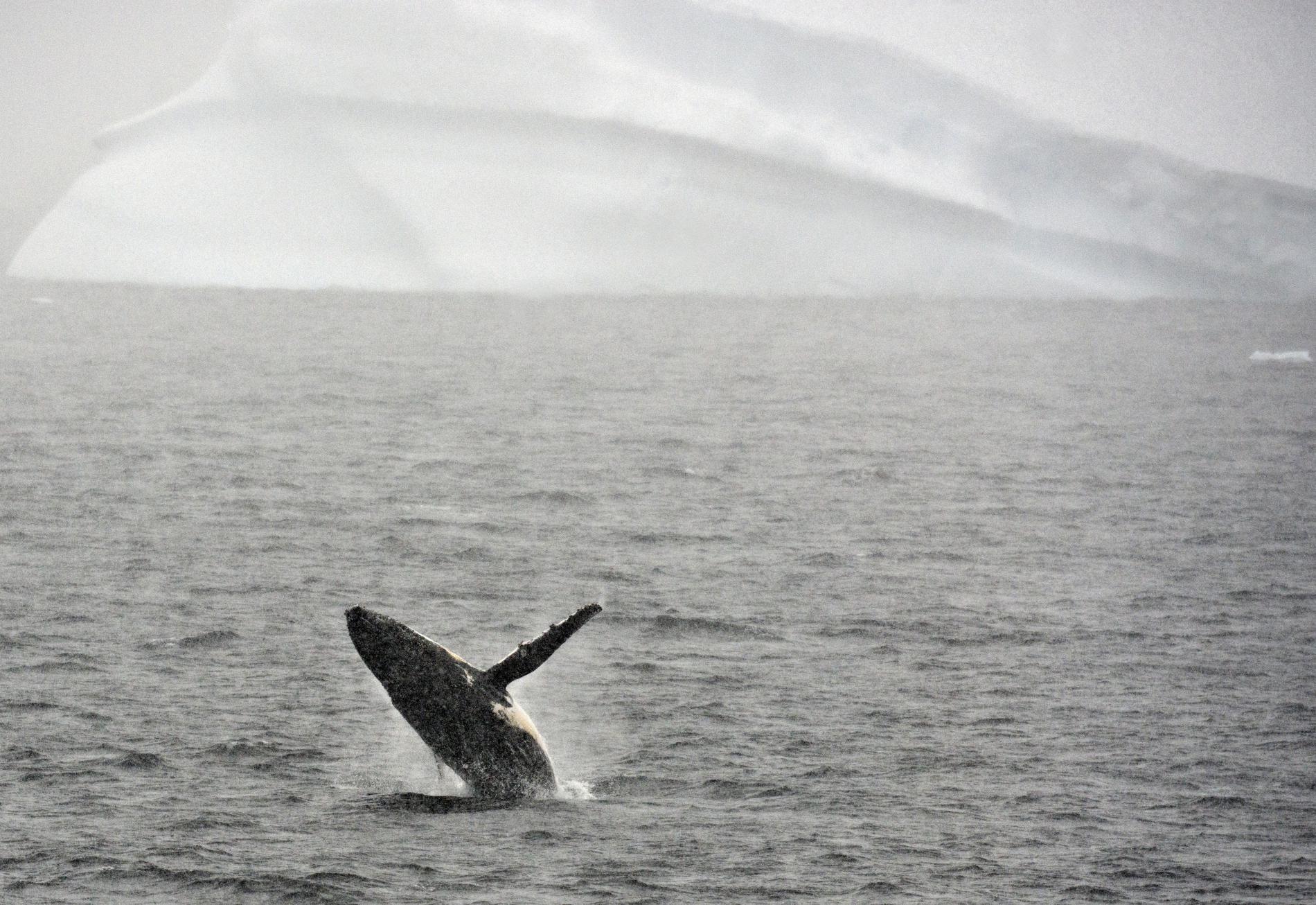 Une baleine à bosse fait surface, le 5 mars 2016, dans l\'océan Austral.