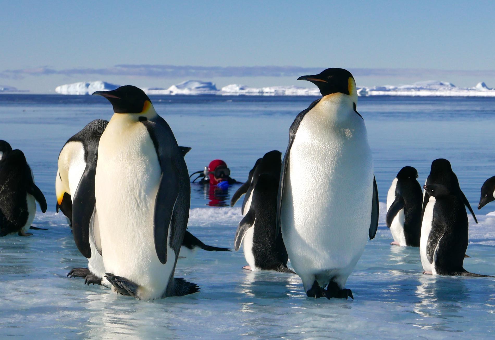 Un plongeur observe les manchots empereurs et les manchots Adélie sur la banquise de l\'Antarctique, en 2015.