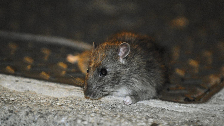 plusieurs minist res envahis par les rats le quai d 39 orsay riposte avec deux chats. Black Bedroom Furniture Sets. Home Design Ideas