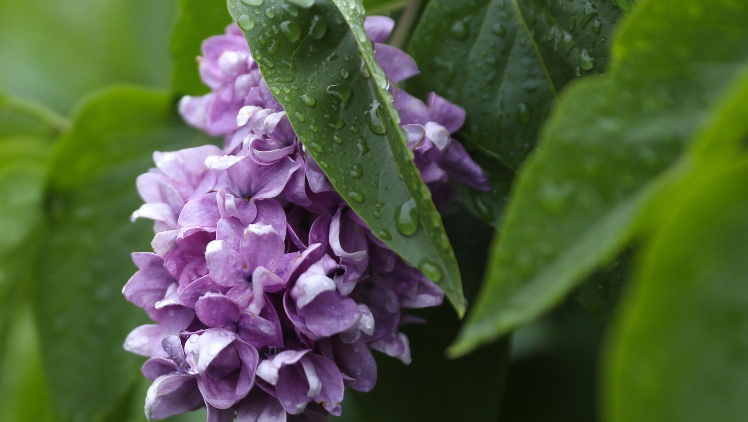 jardin quand le lierre parasite le lilas. Black Bedroom Furniture Sets. Home Design Ideas
