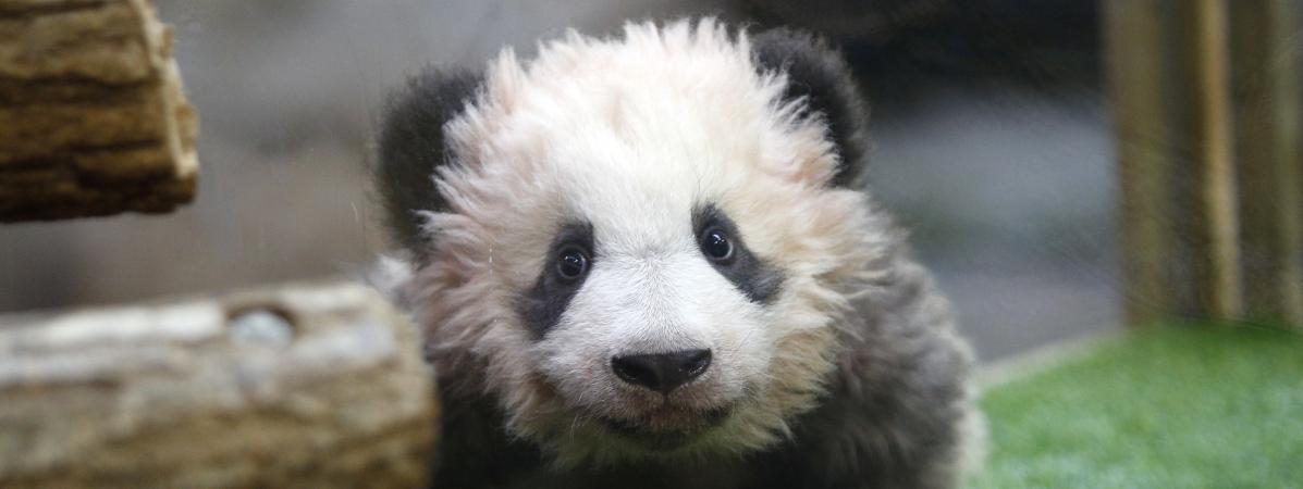 Le panda Yuan Meng au zoo de Beauval (Loir-et-Cher), le 4 décembre 2017.