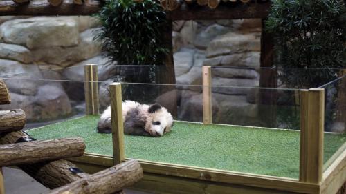 """Première sortie du bébé panda : """"Aucune raison pour que cela le perturbe"""", assure le directeur du zoo de Beauval"""