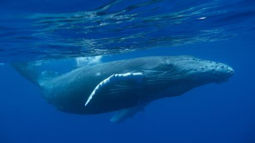 VIDEO. Une baleine cache une plongeuse avec sa nageoire pour la protéger d'un requin