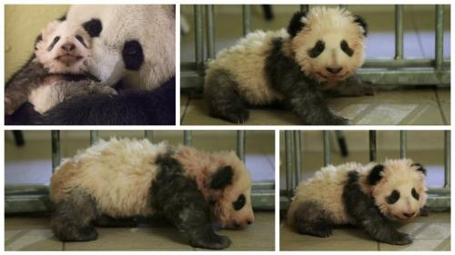 DIRECT. Regardez la présentation au public de Yuan Meng, le bébé panda du zoo de Beauval