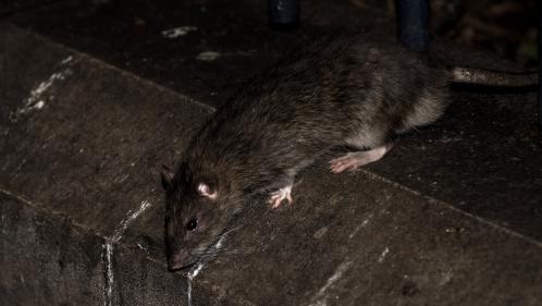 Paris, une capitale envahie par les rats