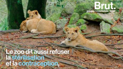 Un zoo suédois révèle avoir euthanasié des lionceaux en parfaite santé