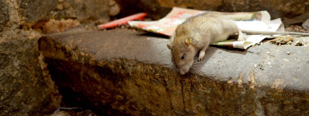 prolif ration des rats paris il faut tre dans la pr vention et pas dans le curatif. Black Bedroom Furniture Sets. Home Design Ideas