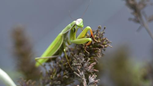 La mante religieuse est le seul insecte connu à voir en 3D