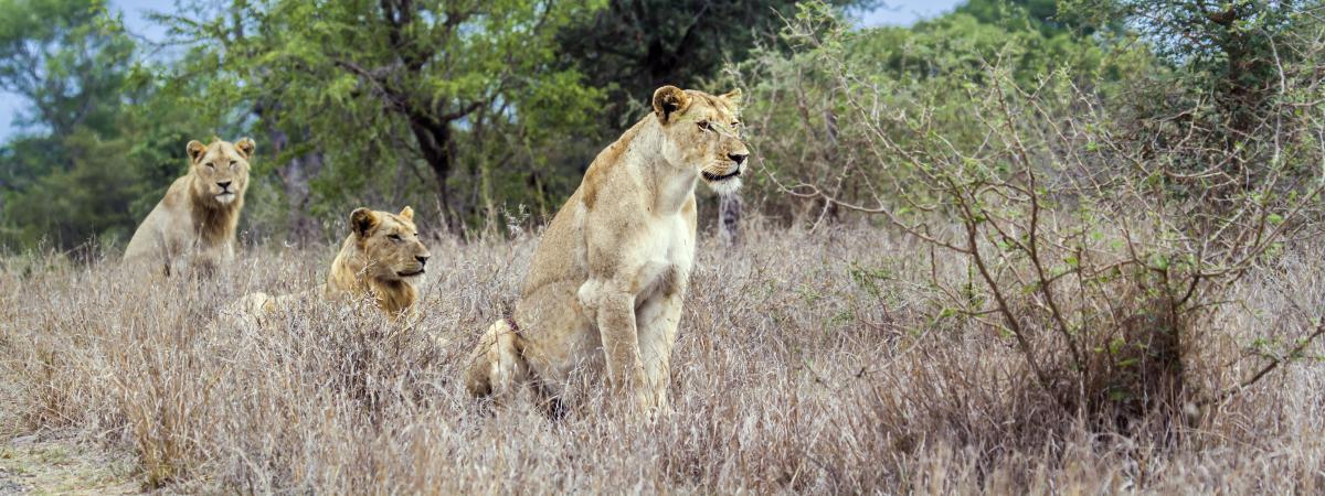 Des lionnes dans le parc national Krüger, en Afrique du Sud, le 30 novembre 2014.