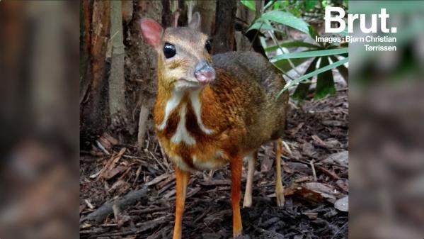 Le cerf-souris, le ruminant le plus primitif sur Terre
